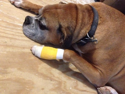 Chico after having a cyst removed from his paw.